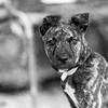 Aeila14Oct201741-Edit.jpg (fredstrobel) Tags: dogs pawsatanta phototype atlanta blackandwhite usa animals ga pets places pawsdogs decatur georgia unitedstates us