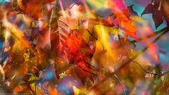 Farben / colors (H.Roebke) Tags: autumn de canon5dmkiv foliage herbst nature germany laub multipleexposure blätter natur leaves 2017 niedersachsen farbe canon100400mmf4556lisiiusm mehrfachbelichtung lightroom color eressanten und meinetwegen auch