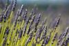 Oai huong (49) (caffesad) Tags: uk hitchin hertfordshire cadwellfarm ickleford lavender