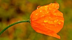 CLOSE UP TWO (chris .p) Tags: hidcote nikon d610 autumn capture september 2017 gloucestershire cotswolds garden raindrops