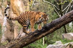 Schwänzchen in die Höh' (Anja Anlauf) Tags: tiger sibirisch raubtier tier groskatze jungtier säugetier