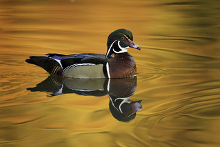 Wood Duck and Autumn Reflections