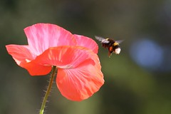 Bee beautiful (stellagrimsdale) Tags: bee pollen poppy autumn sunlight bokeh red stalk green delicate wings nature flight inflight 7dwf