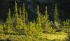 Spruce trees lit by midnight sun, Ivvavik National Park, YT (Daniel Case) Tags: midnightsun sunlight spruce trees golden ivvaviknationalpark