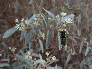 Soldier Fly Hedriodiscus visiting California Croton