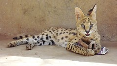 "Serval Cat • <a style=""font-size:0.8em;"" href=""http://www.flickr.com/photos/152934089@N02/37615187811/"" target=""_blank"">View on Flickr</a>"
