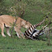 Lioness and a freshly killed zebra