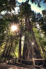 DSC_4811H_1 (Ramiro Marquez) Tags: redwood tree forest tall california sanfrancisco