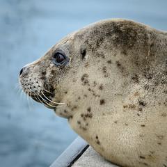 20170925-Seals CapSante-1216-2 (Ding Zhou) Tags: anacortes capsantemarina usa washington boating seal