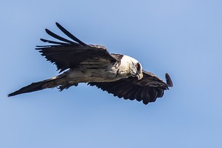 Lammergeier - a recent trip to Northern Spain presented another