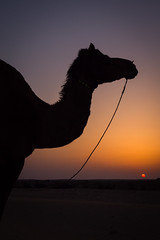 Rajasthan - Jaisalmer - Desert Safari with Camels-68