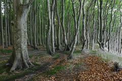 Im Märchenwald (nordelch61) Tags: mecklenburg vorpommern rügen halbinsel wittow wald küstenwald märchenwald gestalten baumgestalten verwunschen märchenhaft
