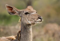 Female Kudu (dunderdan77) Tags: female kudu ear nikon tamron d500 150600 nature south africa kruger national park safari portrait