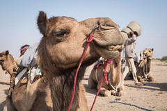 Rajasthan - Jaisalmer - Desert Safari with Camels-3