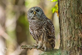 Barred Owls of New Jersey | 2017 -14