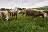 Altopiano di Asiago (beppeverge) Tags: altopianodeisettecomuni altopianodiasiago asiago beppeverge flockofsheep gregge italianlandscape italy paesaggio pastore pastori pecore sheep veneto italia it