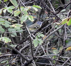 Blue-headed Vireo_N8388 (Henryr10) Tags: bhvi vireosolitarius vireo blueheadedvireo avian bird vogel ibon oiseau pasare fågel uccello tékklistar songbird eastforklake eastforkstatepark bethelohio littlemiamiriverbasin prairietrail