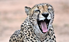 Waking up. (pstone646) Tags: cheetah animal africa bigcat nature wildlife southafrica fauna feline closeup mammal portrait teeth tongue