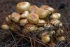 Fungi_3210 (jan_2j) Tags: fungi macro pentax k1 lommel nature mushrooms