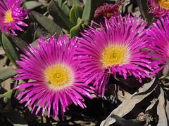 P9160306 West Coast National Park Flowers (Joanna P Dale) Tags: westcoastnationalpark flowers scenery southafrica omdem1 mk1 olympus 35mmzuiko 35mmmacro