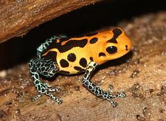 Mimic Poison Frog (Ger Bosma) Tags: 2mg257916 mimicpoisonfrog ranitomeyaimitatorvaradero ranitomeyaimitatorjeberos dendrobatesimitator stripedmorph peru southamerica mimicry amphibian frog
