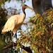 Australian White Ibis (3327)