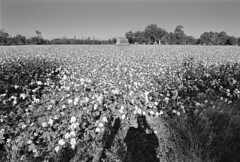 Bolls (F. Neil S.) Tags: cotton field fallafternoonsun shadow pyrocathd selfdev ilfordfp4 35mm negative film blackwhite nikonf100