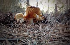 Les primeres ( alfanhuí) Tags: sella benimantell fontdelcirer fongs setas mushroom fungi pinetree pino pi 314159