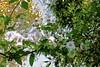 Rambling Rose! (maginoz1) Tags: abstract flowers daisy roses flora curves manipulate spring 2017 october bulla melbourne victoria australia alistairclarkmemorialgarden canon g3x