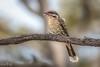 Spiny-cheeked HoneyeaterDSC_2536 (BlueberryAsh) Tags: goshensreserve spinycheekedhoneyeater bird honeyeater victoria nikond500 tamron150600 nature wildlife australianbird