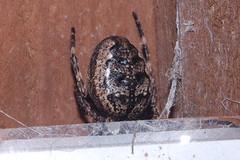 Arachtober 25 (b) (Procrustes2007) Tags: spider arachnid arachtober macro nikond50 nikkor50mmais tamron2xteleconverter vivitarextensionrings68mmtotal flash greatcornard suffolk uk britain england nucteneaumbratica walnutorbweaver