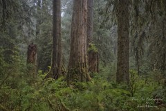Hoh Rainforest, Olympic National Park, Washington in the pouring rain. (Freshairphotography) Tags: hohrainforest olympicnationalpark olympicpeninsula nationalpark natural nature naturesart washington rainforest rain rainfall raindrops rainy moss mossytrees mossy greens mothernature beauty forest oldgrowthforest oldgrowthtrees