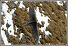Gypaète 171026-04-P (paul.vetter) Tags: oiseau ornithologie ornithology faune animal bird gypaètebarbu gypaetusbarbatus bartgeier quebrantahuesos beardedvulture vautour rapace