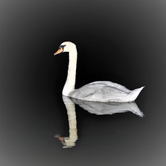 Not all who wander are lost (J.R.R. Tolkien) (stellagrimsdale) Tags: swan night dark lake reflection nighttime bird waterfowl