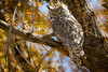 Autumn Owl (Robin-Wilson) Tags: greathorned autumn colors colorado montevista afternoon breezy tigerowl bubovirginianus nikond800