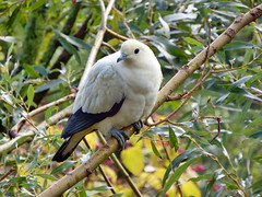 Dove (STEHOUWER AND RECIO) Tags: dove pigeon bird animal avian fauna leaves tree pose portrait duif vogel dier netherlands nederland holland nature natuur lovely pretty sweet houtduif columbapalumbus commonwoodpigeon photo photography capture image