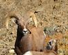 DSC_9764 ram and the kid (futzr.fotoz) Tags: yakima county big horn sheep ram ewe juvenile rock coat curl
