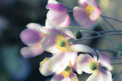 Sliders Sunday ☺️🌹  HSS! (martinap.1) Tags: flower nikon nature nikond3300 nikon105mmmacro natur blüte blume bokeh blossom pflanze plant pink happysliderssunday sliderssunday hss macro makro postprocessed 7dwf