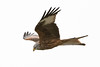 Red kite (Shane Jones) Tags: redkite kite bird raptor birdinflight birdofprey wildlife nature nikon d500 200400vr tc14eii