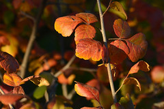 Autumn Shrub (NaturalLight) Tags: autumn fall color chisholmcreekpark wichita kansas