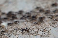 Army ant (ramosblancor) Tags: naturaleza nature animales wildlife insectos insects hormigas ants armyants ectionburchellii hormigaguerrera soldado soldier colonia colony razia raid amazonía amazonia bosquetropicallluvioso tropicalrainforest selva jungle terrafirme brasil brazil