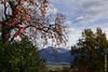 Plaqueminier (arbre à kaki) près de Brione s/ Minusio (Ticino) (29/10/2017 -18) (Cary Greisch) Tags: brionesopraminusio che carygreisch diospyroskaki kakibaum plaqueminier switzerland ticino