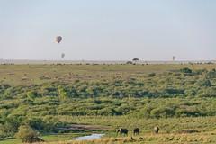 African Safari. Busy morning in savanna. (Lena and Igor) Tags: safari travel africa kenya masaimara landscape morning balloons animals mammals elephants dslr nikon d5300 apsc nikkor 18300 savanna