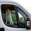 Day #3558 (cazphoto.co.uk) Tags: panasonic lumix dmcgx8 panasonic1235mmf28lumixgxvarioasphpowerois project365 beyond3288 270917 animal colchester dog driver steeringwheel van transport