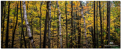 OCTOBER 2017  NGM_6168_2716-222 (Nick and Karen Munroe) Tags: birch birchtree fall fallcolors fallsplendor foliage autumn colour canada color colors trees tree treeline forest forests woods wood hike heartlakeconservationarea heartlake heartlakeconservation conservation conservationareas beauty brampton beautiful brilliant golden gold yellow leaves nikon nickmunroe nickandkarenmunroe nature d750 nikond750 nick nickandkaren munroedesignsphotography munroedesigns munroephotography munroe karenick23 karenick karenmunroe karenandnick karen landscape ontario outdoors ontariocanada o nikon2470f28 2470 2470f28