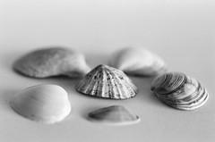 Seashells (DuncanGreenhill) Tags: pentax phonar film ilfordxp2 c41process mesuper phonarnation nationlooking4light 50mmf14