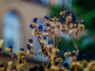 Belamcanda chinensis, seeds (Diaplan lens-study)