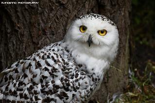 Snow owl - Dierenrijk