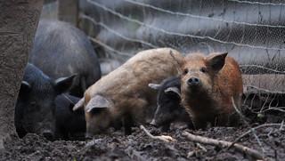 Mangalica-Schweinchen