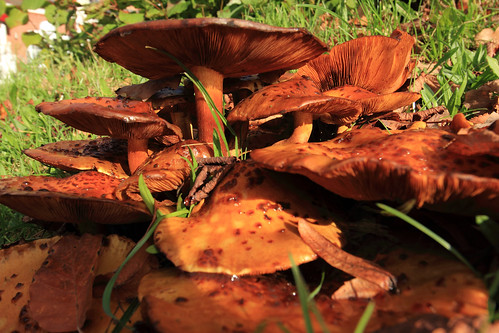 """Hallimasche (Armillaria) (18) • <a style=""""font-size:0.8em;"""" href=""""http://www.flickr.com/photos/69570948@N04/38193371161/"""" target=""""_blank"""">View on Flickr</a>"""